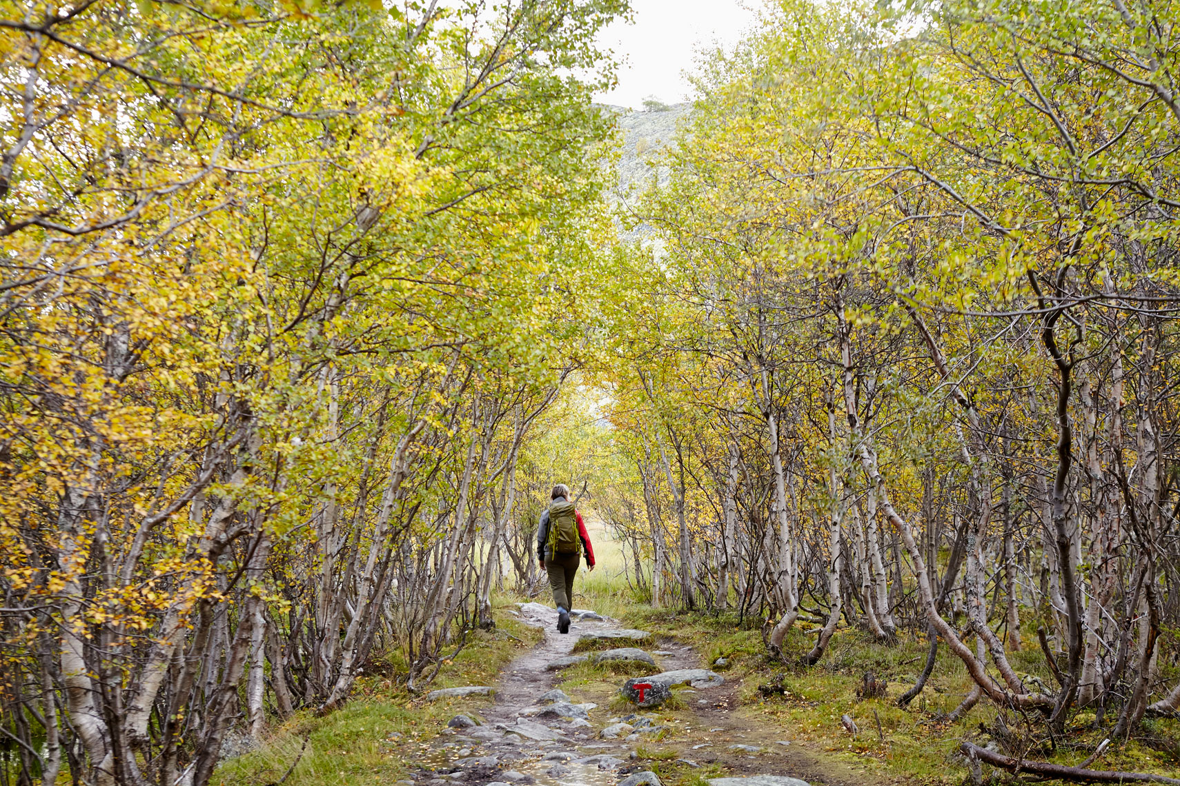 Trail trough birch trees, Nedre Dørålseter